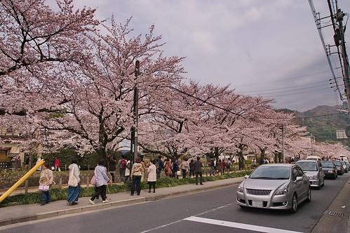 【写真】2013 桜 : 哲学の道/2018-12-24/IMGP9262