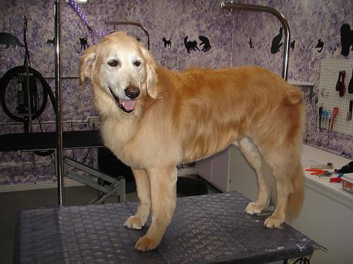 Golden Dog Grooming Vancouver Wa