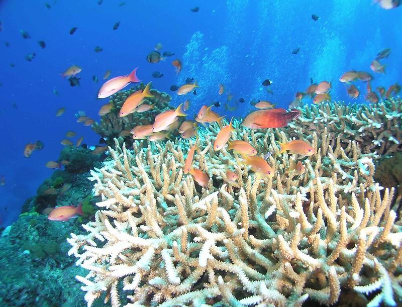 圖。1健康的珊瑚礁生態系。圖為綠島石朗海域19公尺深