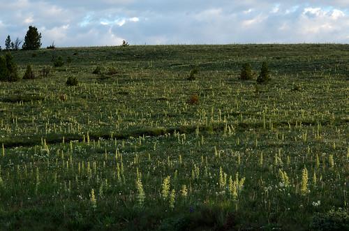 montana sidelight frasera kingshill greengentian monumentplant fraseraspeciosa