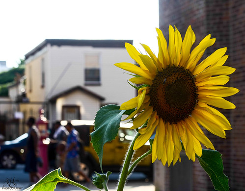 Urban Sunflower...