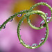 Water drops on passion flower tendril refraction #2 by Lord V