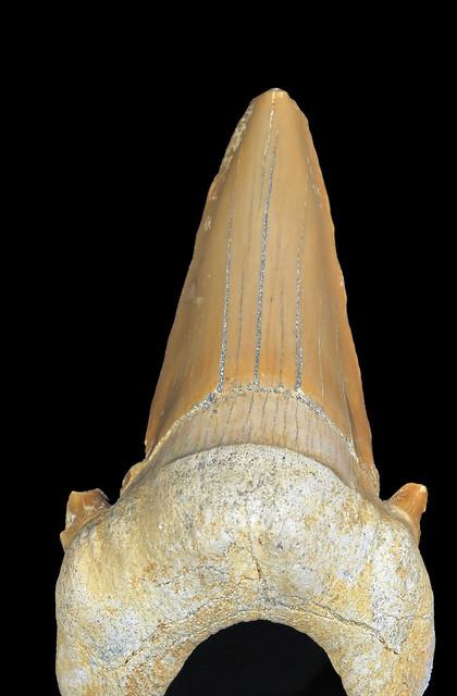 Otodus obliquus Agassiz, 1843