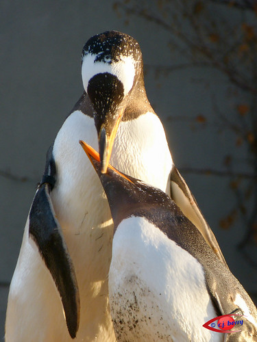 Gentoo Penguin by cj berry