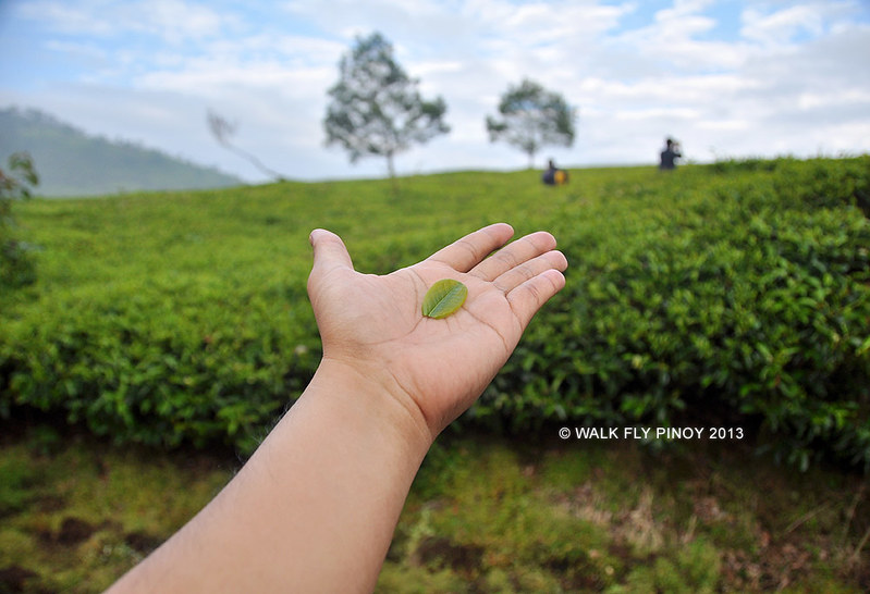Cool Tea Hills, Bandung, West Java, Indonesia