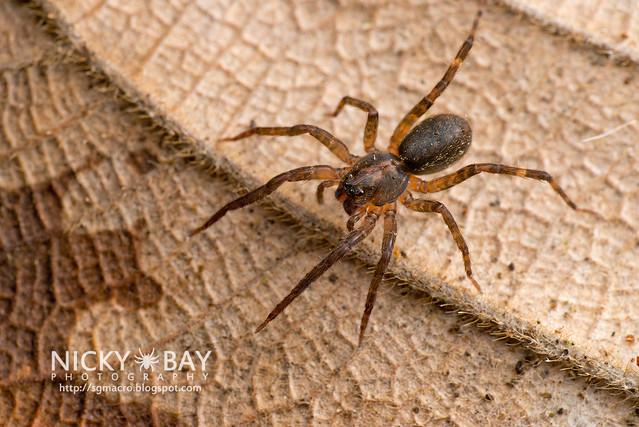 Wandering Spider (Ctenidae) - DSC_3779