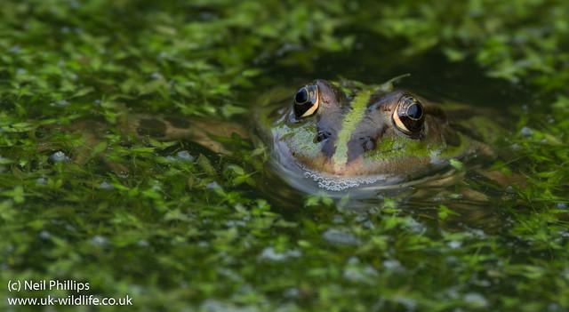 marsh frog-3