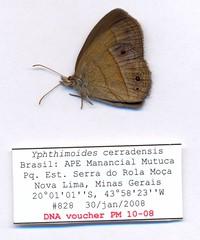 Yphthimoides cerradensis