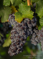 Close Up of Wet Sun Lit Red Wine Grapes Hanging on…