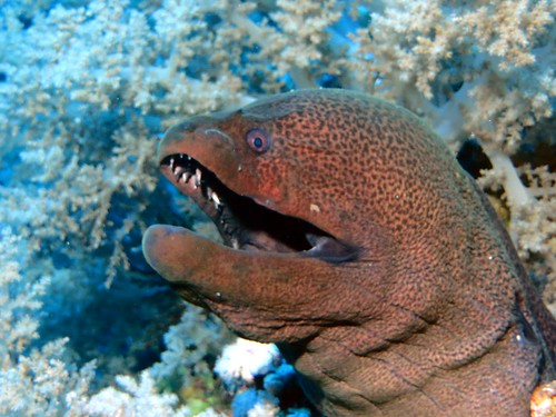 teeth of the moray