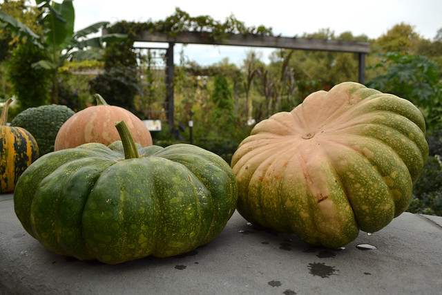 Cucurbita moschata 'Rumbo' has flesh that is similar to acorn squash, but it's less stringy and tastes even sweeter. Photo by Blanca Begert.