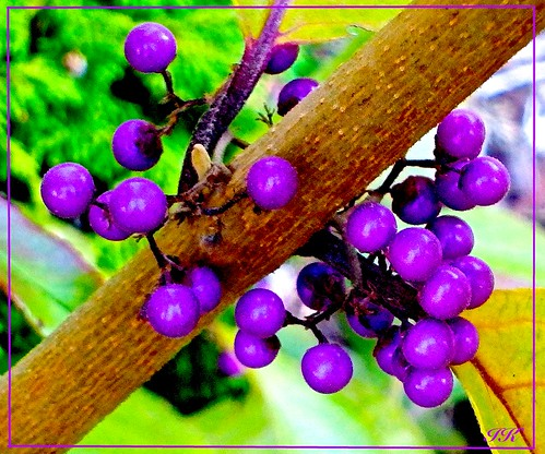 park fall berries purpleberries scenes shrubs fallberries floweringshrubs allberries fallshrubs colourfulshrubs