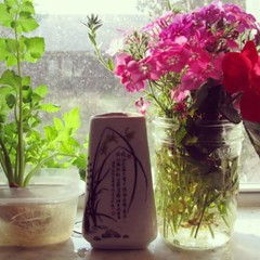 Phlox and Celery on the Kitchen Windowsill. Spring, 2013.