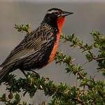 Birds of the Atacama Desert December 2013