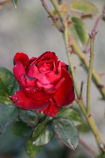 Winter rose in Eram Garden, Shiraz シラーズ、エラム庭園の冬のバラ