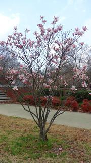 magnolia flower 8