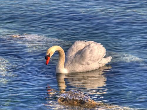 Majestic Swan