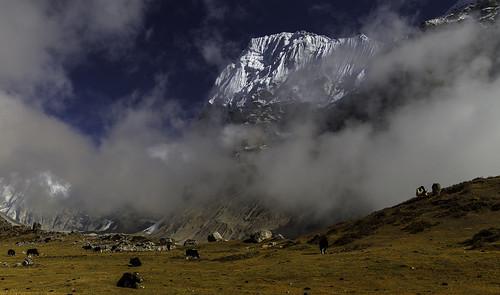 nepal glacier himalaya yaks chang himal kangchenjunga lunak lhonak wedgepeak