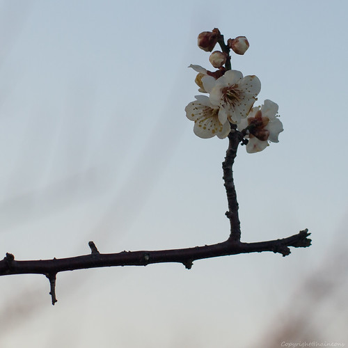 Mar/06 prunus mume