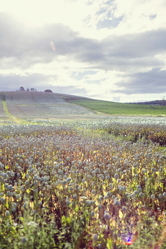 Field of flowers - Tasmania