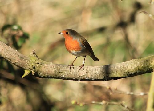 Robin 25477