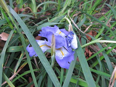 Iris growing by the path IMG_4522