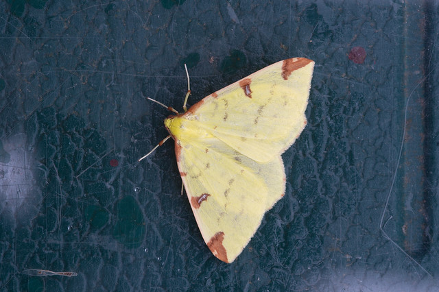 157: Brimstone Moth