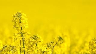 kokología amarillo