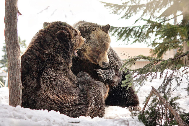 Grizzlies at Grouse