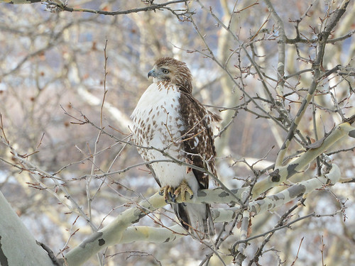 Young Riverside Red-Tail - 4950