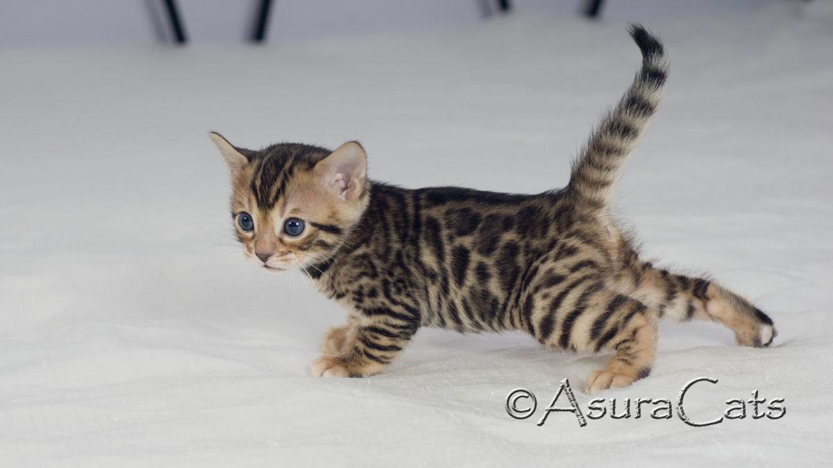 AsuraCats Storm Cloud - Brown rosetted Bengal kitten