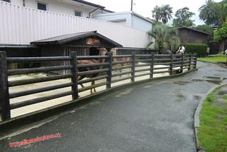 CIMG1161 Llamas  en el  Infierno  Yama Jigoku  (Beppu) 13-07-2010 copia