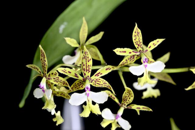 Epidendrum standfordianum 16469453951_25ee6cf46b_z