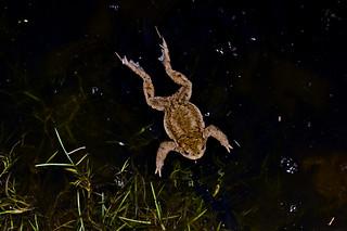 MG 7886 Swimming Toad