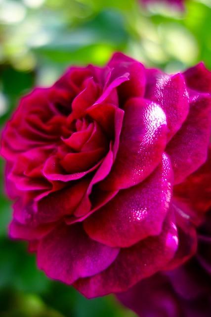 Nozuta Rose Garden #2