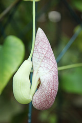 Knospe Aristolochia grandiflora