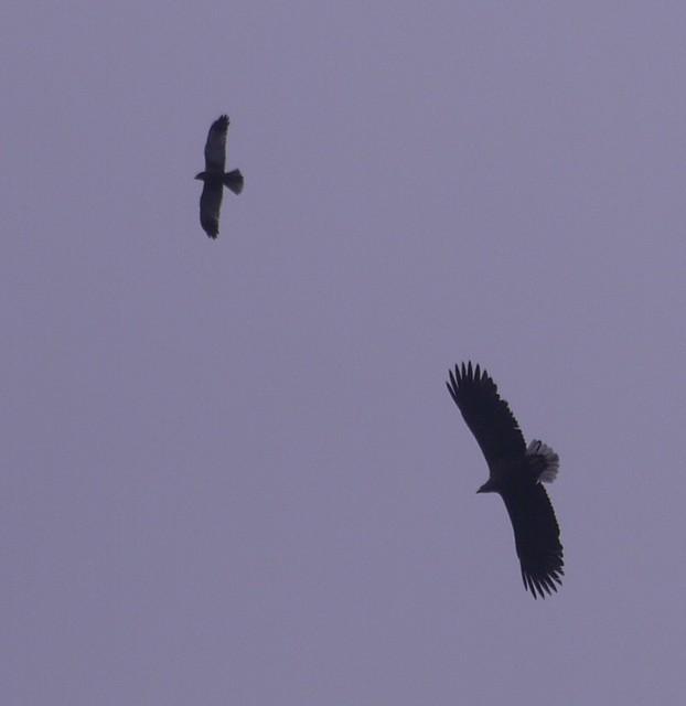 Błotniak i orzeł bielik / Harrier ane eagle