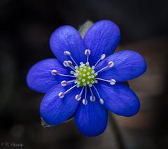 Blue blue Anemone