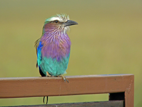 Lilac-breasted Roller by TonyKRO