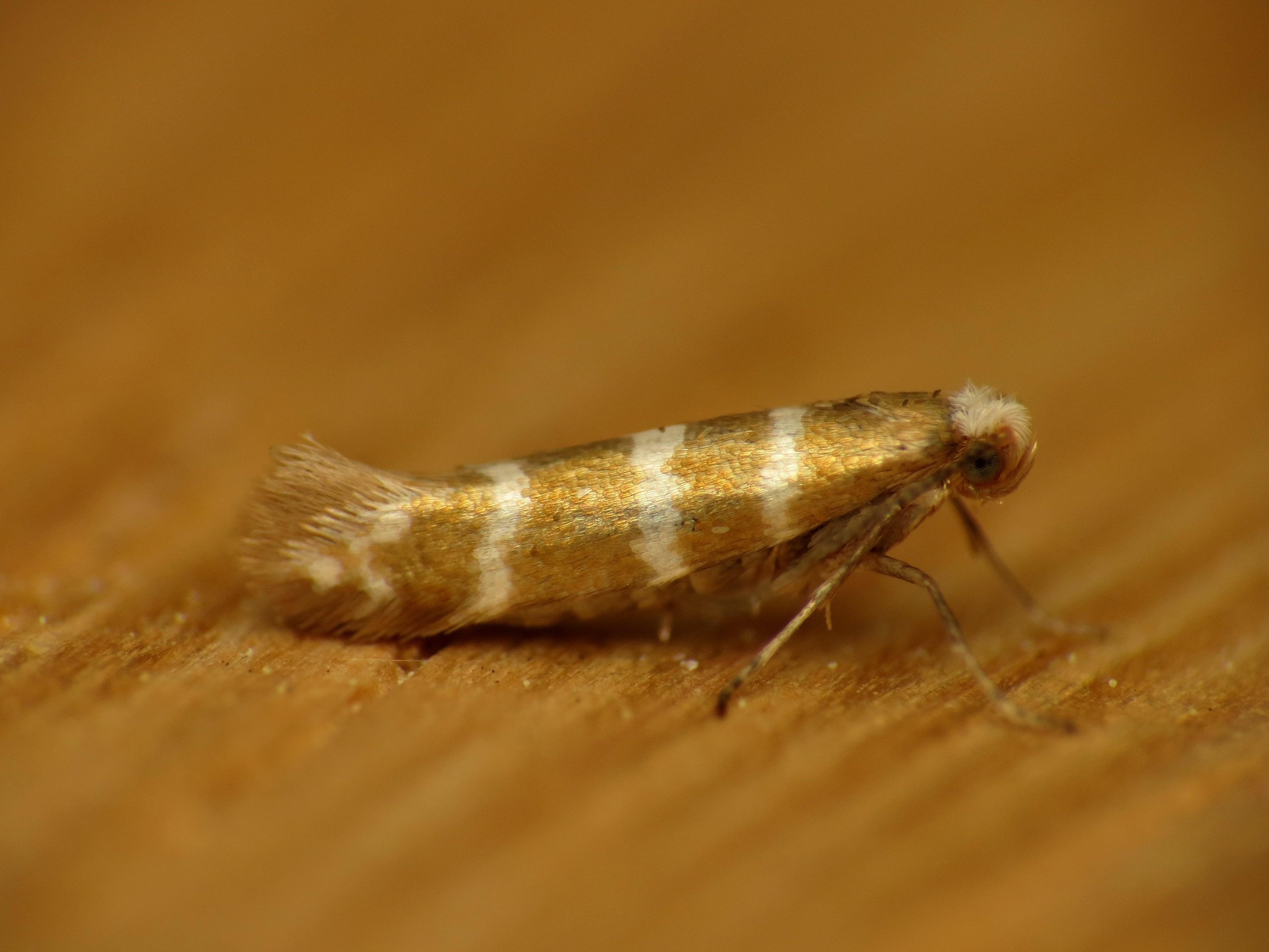 Image of Argyresthia trifasciata