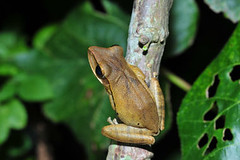斑腿樹蛙。(圖片來源:楊懿如的青蛙學堂)