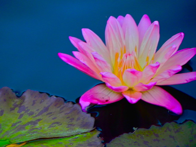 Water lily, Chicago Botanic Garden, Glencoe. Credit: Richard Pallardy