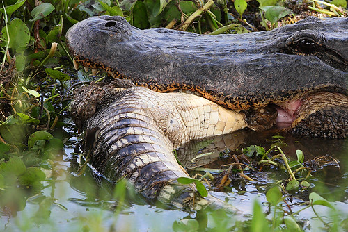 texas feeding gator brazosbend