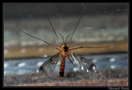 Leptomorphus walkeri