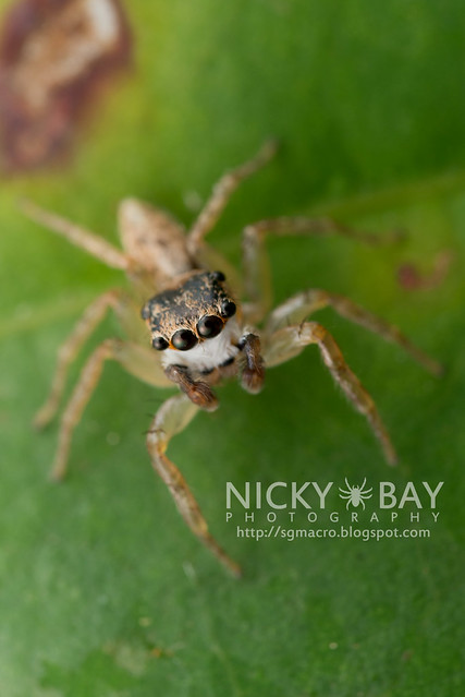 Jumping Spider (Salticidae) - DSC_6412
