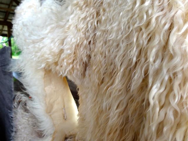 goat fleeces