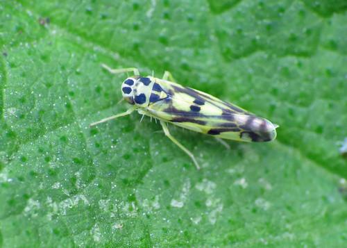 Potato Leafhopper - Eupteryx aurata