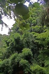 Podocarpaceae