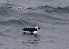 puffin, ocean, wind wave, wave, bird, seabird,