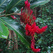 Small photo of Alpinia purpurata, giant Red Ginger